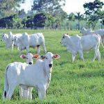 Pesquisa mostra vantagens da integração entre lavoura e gado tanto para o produtor como para o Meio Ambiente